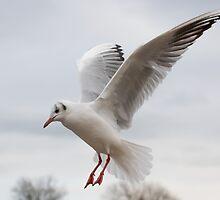 Gull in Flight by Ellesscee