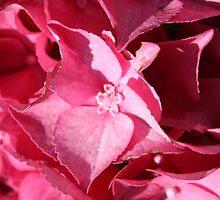 pink hydrangea by cielleigh