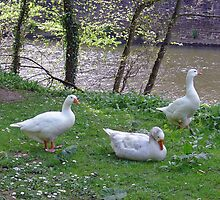 Riverside Geese  by Rod Johnson