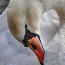 White Swan Preening by Kathy Baccari