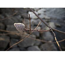 Willow Bud Photographic Print