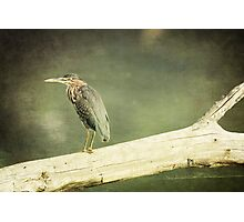 Green Heron on a Log Photographic Print