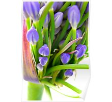 Agapanthus Blooming Poster