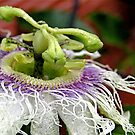 Passionfruit flower by Michelle Ricketts