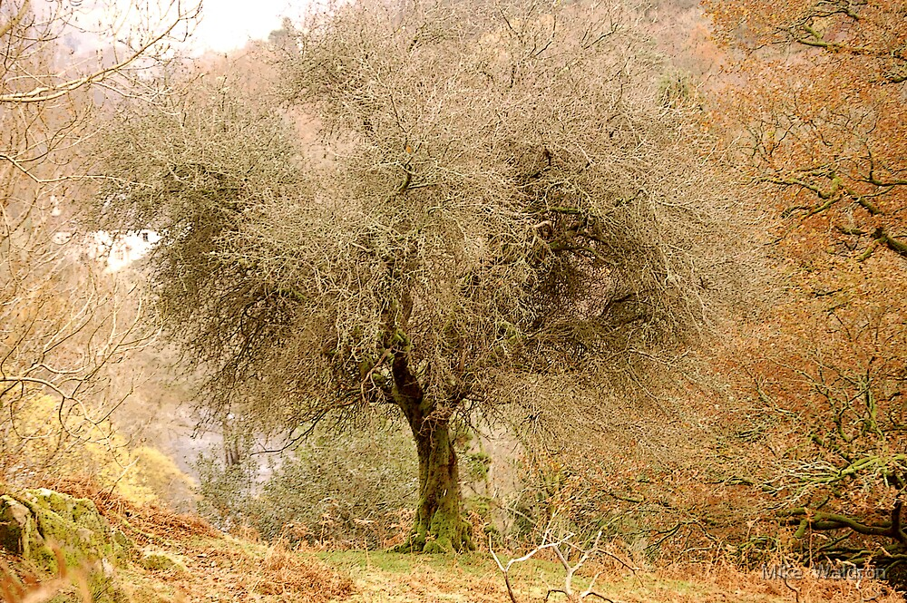 Tree at Rydal .. by Mike  Waldron
