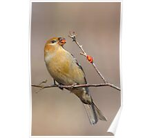 Pine Grosbeak. Poster