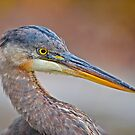 Colour me Blue Heron by Daniel  Parent