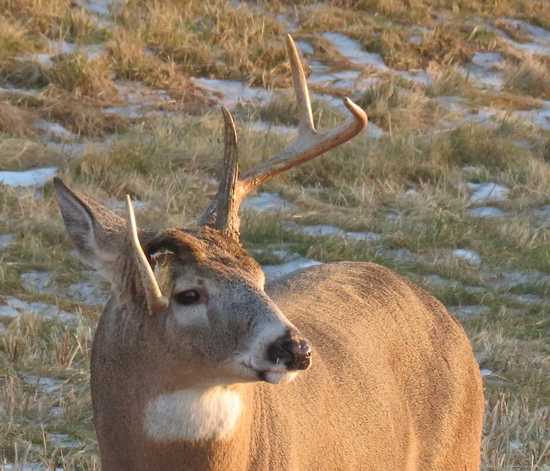 Buck with twisted antler by Alex Call