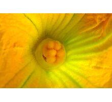 Globe Zucchini Flower Photographic Print