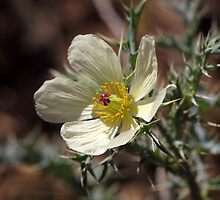 Flower of Mexican prickly poppy by Zosimus