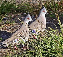 Crested Pigeons by Robert Elliott