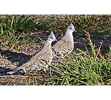 Crested Pigeons Photographic Print
