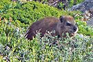 Rock Hyrax by Graeme  Hyde
