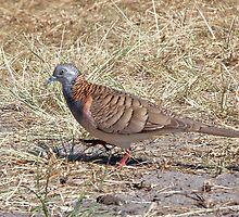 Bar-shouldered Dove  by Robert Elliott