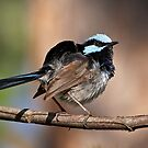 Superb Fairy-wren ~ Ruffle My Feathers by Robert Elliott