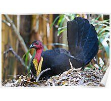 Australian Brush-turkey (male) Poster