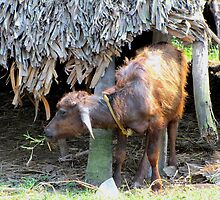 BABY GEDDI-WATER BUFFALO-RAVALAPALEM INDIA-11192012 by HEARTSFORINDIA