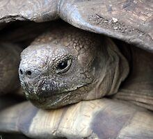 African spurred tortoise by Zosimus