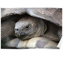 African spurred tortoise Poster