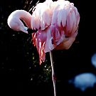 Last Flamingo by Malcolm Clark