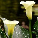 Calla Lily by Michelle Ricketts