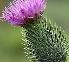 Thistle by triciaoshea