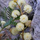 Wattle flower by Michelle Ricketts