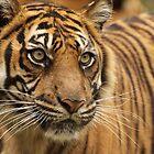 Sumatran Tiger by AngelaHumphries