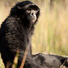 Siamang by AngelaHumphries