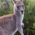Australian Wildlife - Will Hore-Lacy by Will Hore-Lacy