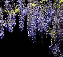 Wisteria Worth Waiting For by Gabrielle  Lees