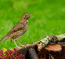 song thrush by kathleenjean