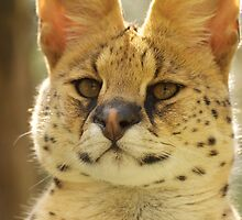 Serval by AngelaHumphries