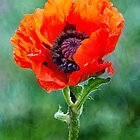 Oriental Poppy by M.S. Photography/Art