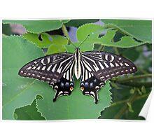 Butterfly, Yangshuo, Guangxi Poster