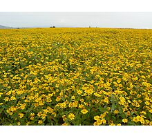 Yellow crop, Shan State, Myanmar Photographic Print