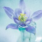 Aquilegia by Jill Ferry