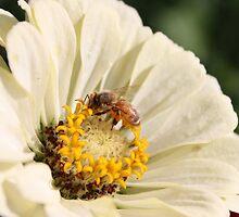 Honeybee on Zinnia angle 2 by AbigailJoy