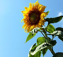 Sunflower & Sky by AbigailJoy