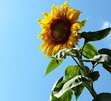 Sunflower & Sky by AbigailJoy