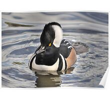 Male Hooded Merganser Poster