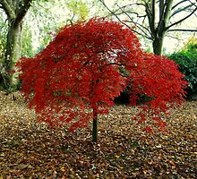 Red Leaved Tree by appfoto