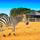 Zebra on the grassland by nrasic