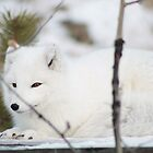 Arctic Fox by KlondikeKateYT