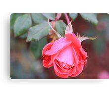 knockout rose Canvas Print