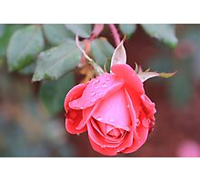 knockout rose Photographic Print