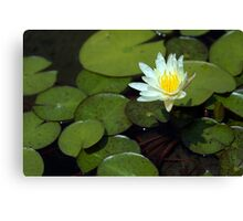 Lonely Water Lily Canvas Print
