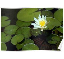 Lonely Water Lily Poster