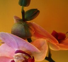 Kathie McCurdy Pink Orchid by Kathie McCurdy