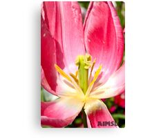 Open Tulip with Pollen on the Petals Canvas Print